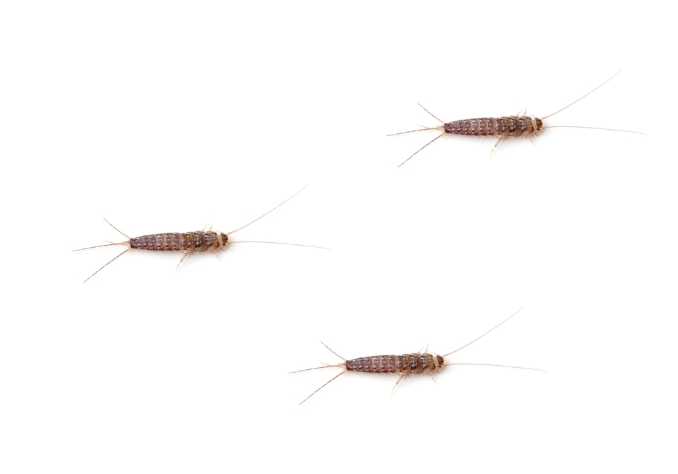 how-to   remedy & prevent silverfish